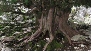 tronco tejo milenario, arbol mas antiguo de Europa en Sierra de Cazorla