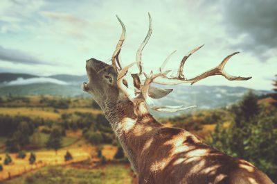 La Berrea del ciervo en Sierra de Cazorla